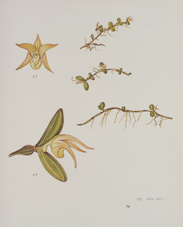 stolzia repens